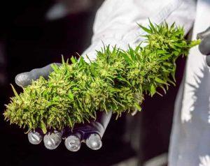 bellastoria-marijuana-light-bear-bush-bari