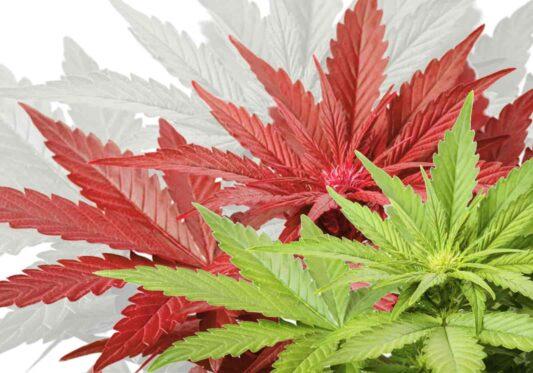 bellastoria-marijuana-light-italia